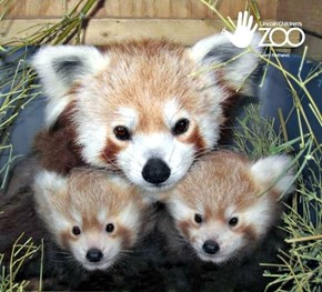 Squee Spree: Red Pandas Win!