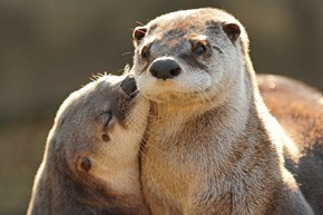 Otter Kisses