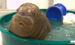 Rescued Walrus