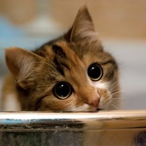 Cyoot Kitteh of teh Day: HOW CAN I SAY 'NO' TO THOSE EYES?????!?!?!?!?!?1