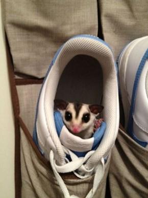 Sugar Glider Sneakers