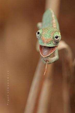 Cheery Chameleon