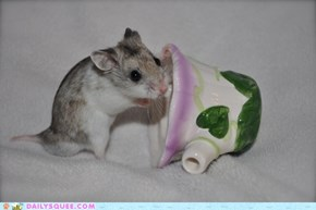 Reader Squee: Chinese Hamster