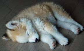 Cyoot Puppy ob teh Day: Golden Husky