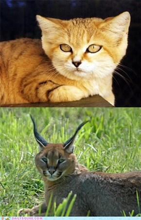Squee Spree: Sand Cat vs. Caracal