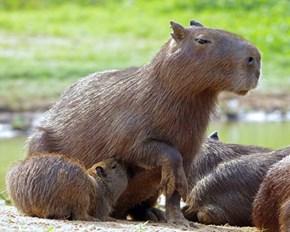 Mama Capybara