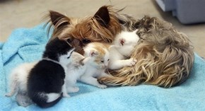 Goggies R Owr Friends: Yorkie Adopts Five Kittens