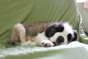 Cyoot Puppy ob teh Day: Sleepy Bernard