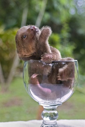 Goblet of Sloth