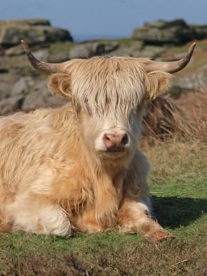 Grunge Cow