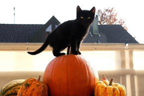 Meowloween Kitteh of teh Day: How Do I Turn This Thing Into Pie?