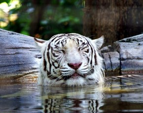 Tiger Spa Time