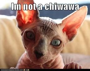 Im not a chiwawa