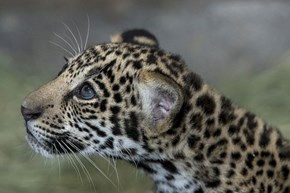 Jaguar Big Eyes