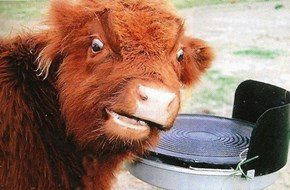 Candid Cow Camera