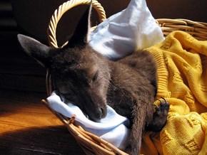 Kangaroo Gift Basket