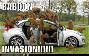 BABOON   INVASION!!!!!!
