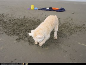 Nemo loves digging at the beach