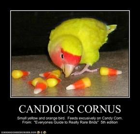 CANDIOUS CORNUS