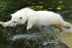 Prancing Polar Bear