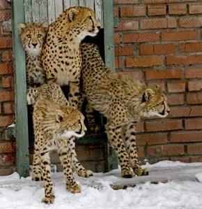 Cheetahs Don't Understand Snow