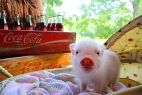 Wee Lil Pig