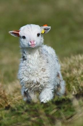 Widdle Lamb