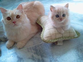 Cyoot Kittehs of teh Day: Booster Seat