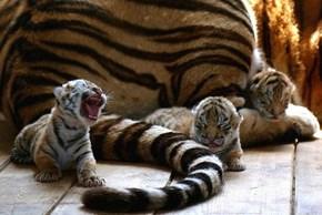 Fussy Tiger Cubs