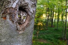 Peeping Owl