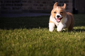 Cyoot Puppy ob teh Day: Frolicking Corgi