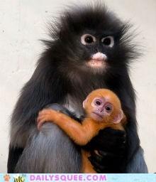 Newborn Brillangoer (Dusky Leaf Monkey) in Burger's Zoo, Arnhem, The Netherlands