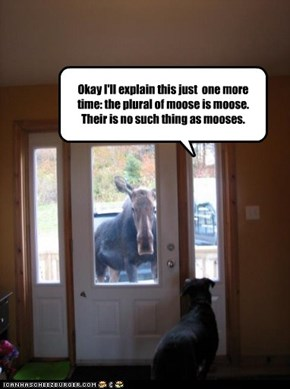 Okay I'll explain this just  one more time: the plural of moose is moose. Their is no such thing as mooses.