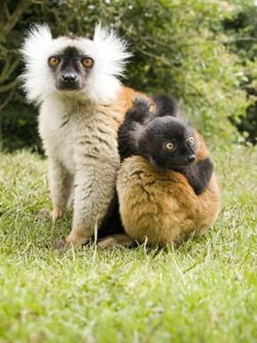 Black Lemurs