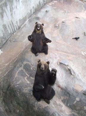 O Hai Bear