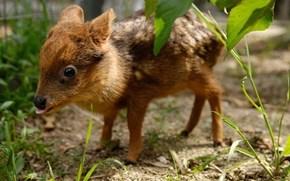 Whatsit: Dwarf Bambi