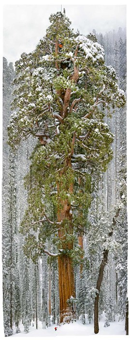 The President, One of the World's Largest Trees