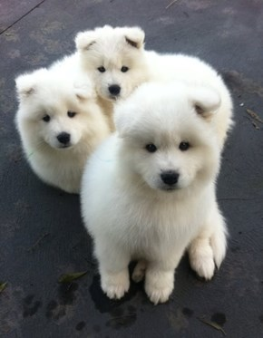 Cyoot Puppy ob teh Day: Three White Fluffballs