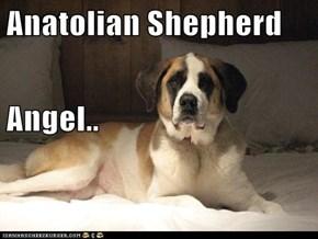 Anatolian Shepherd Angel..