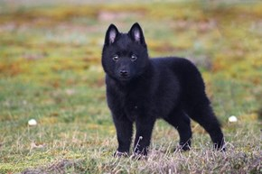 Goggie ob teh Week: Schipperke Wins!