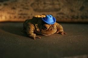Cowboy Toad