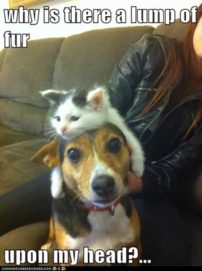 why is there a lump of fur  upon my head?...