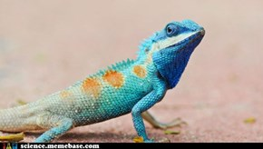 Blue iguana crawls away from extinction
