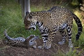 Mama Jaguar