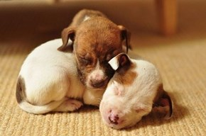 Cyoot Puppy ob teh Day: Itty Bitty Pitbulls