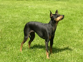 Goggie ob teh Week FACE OFF: English Toy Terrier