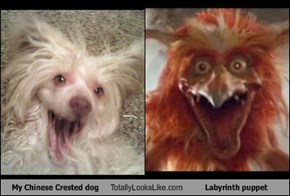 My Chinese Crested dog Totally Looks Like Labyrinth puppet