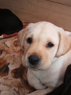 Cyoot Puppy ob teh Day: Lil Labrador