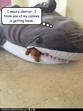 I need a dentist.  I think one of my canines is getting loose.