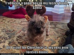 I've been a good boy in my foster home, Santa  All I want for Christmas is my very own forever home